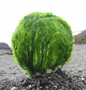 sea lettuce globe